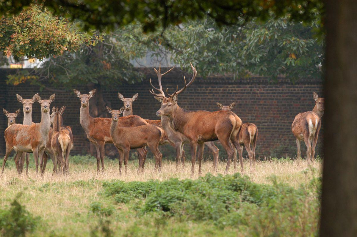 Deer in Greenwich Park. Image: The Royal Parks. All rights reserved.