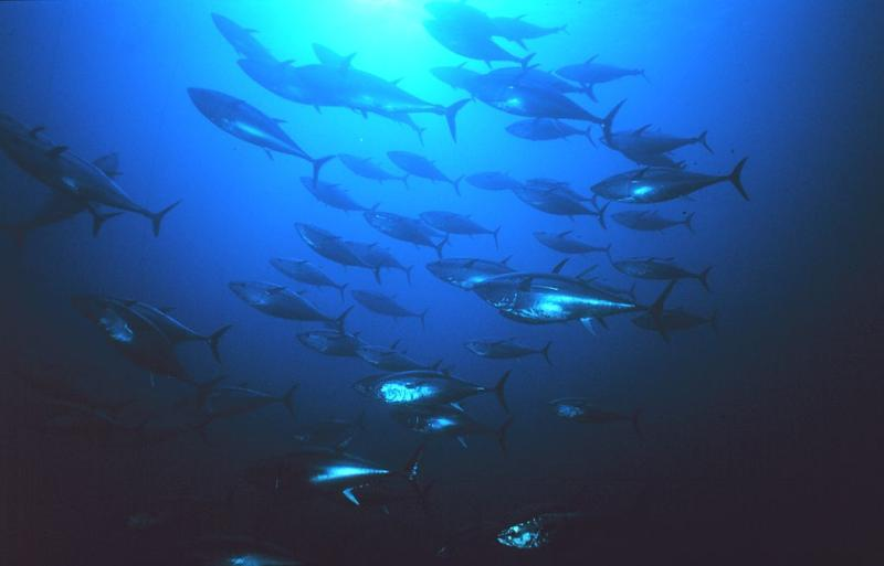 An underwater image of a school of tuna