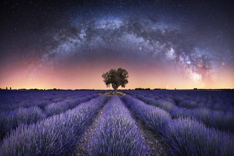 A field of lavender at night, with an arch of stars appearing to reflect the purple of the fields